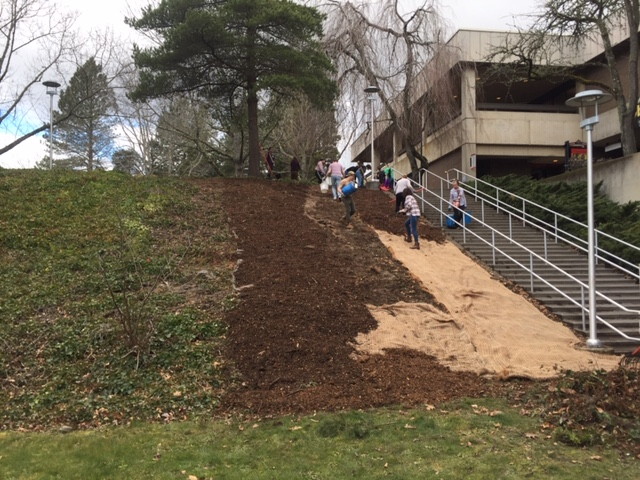 Volunteers spread mulch on the project site, originally blanketed in ivy.