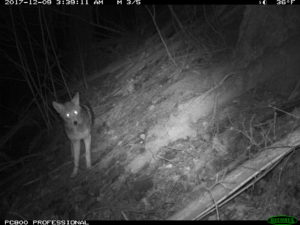 Coyote caught on camera in the Beaver Creek watershed