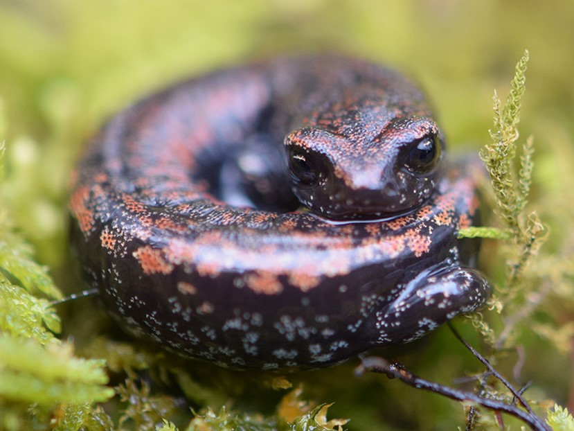 Oregon slender salamander found in Gresham