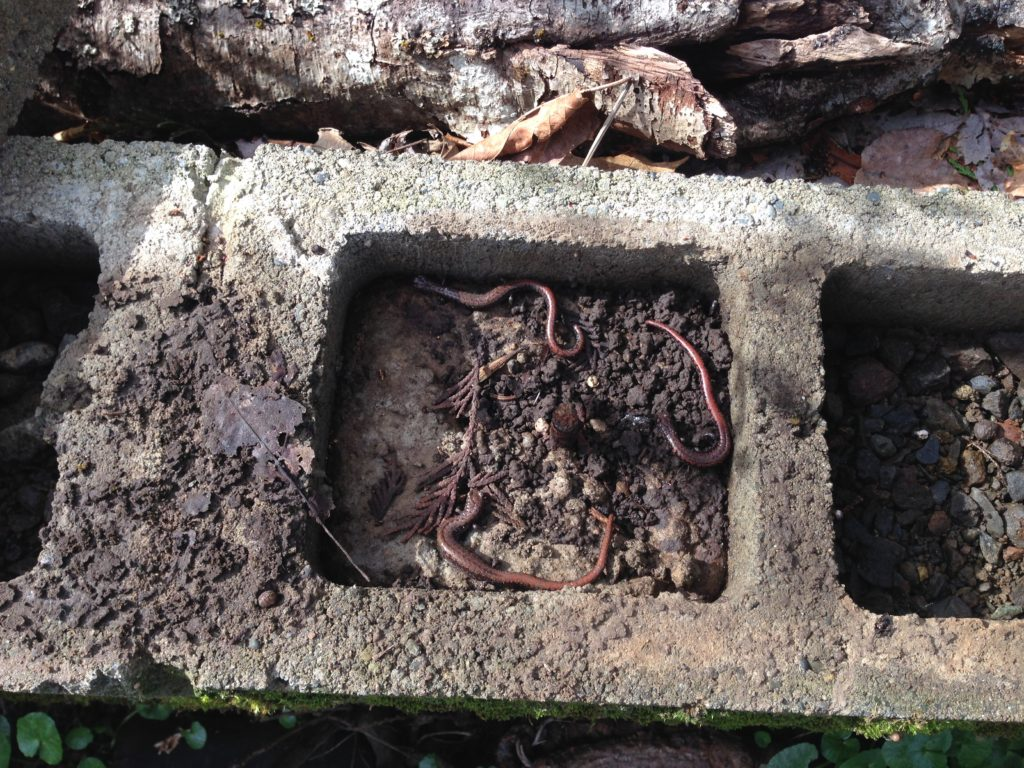 Oregon slender salamanders in cinder block wall