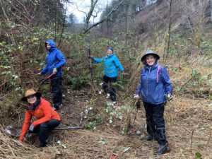 4 volunteers cutting back blackberry brambles to uncover young native plants