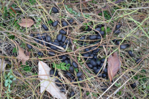 White-tailed Deer scat